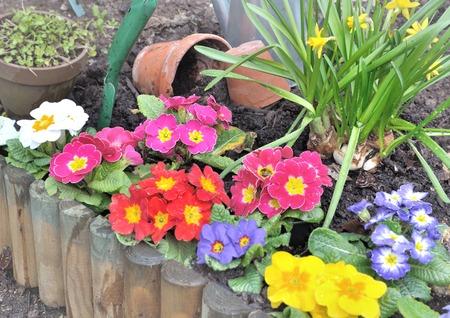 flowerbed: colorful spring flowers plantation in flowerbed
