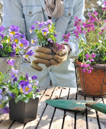 violas: planting violas in decorative pots on a garden table