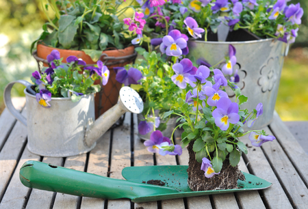 violas: violas on planter in front of flower pots on a garden table Stock Photo