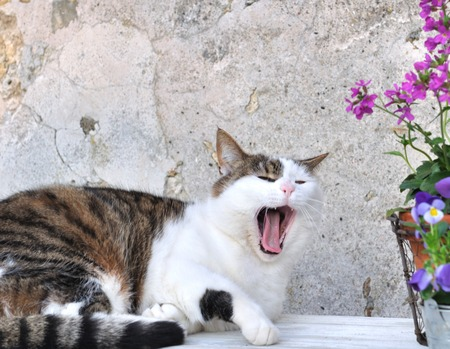 gaping: tired cat next to flower pots on a garden table gaping Stock Photo