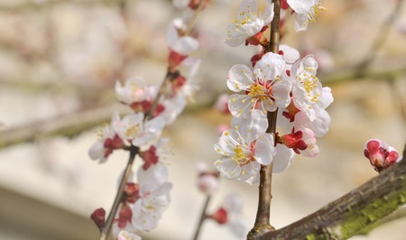 apricot tree: close on apricot tree flowers on a branch in springtime Stock Photo