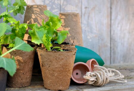 turba: plantaci�n en macetas de turba sobre encimera de madera del jard�n