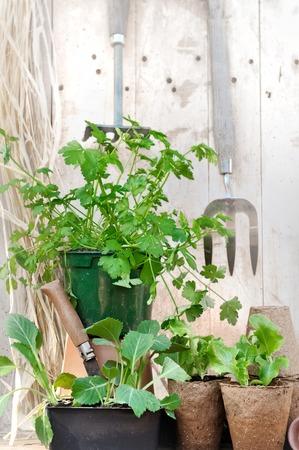 turba: plantación en macetas de turba en una encimera de jardín de madera rústica Foto de archivo
