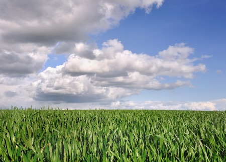 gramineous: green field of wheat under cloudy sky