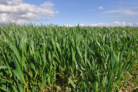 gramineous: green field of wheat seedlings under blue sky