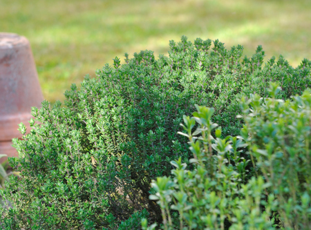 and savory: close on thyme and savory in garden Stock Photo