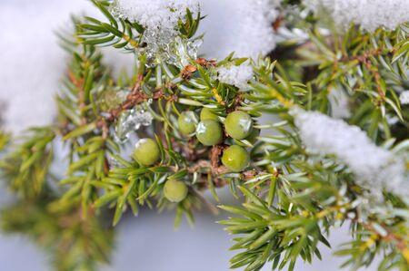 enebro: bayas de enebro bajo la nieve
