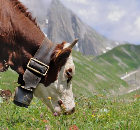 closeup on a cow grazing grass in mountain
