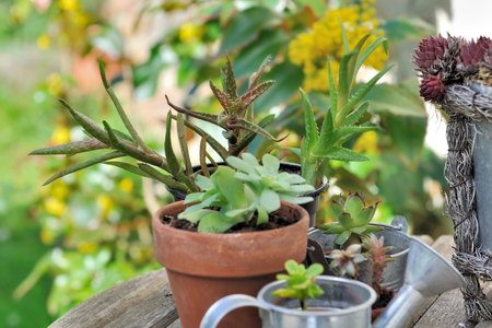 collection of  succulent plants in pot  Stock Photo