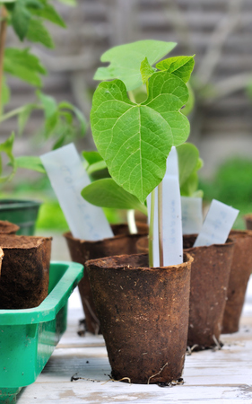 turba: close on seedling in a peat cup in garden