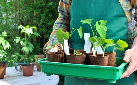 seedlings  in cup holding bu a gardener  Stock Photo