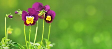 violas: little violas on green background