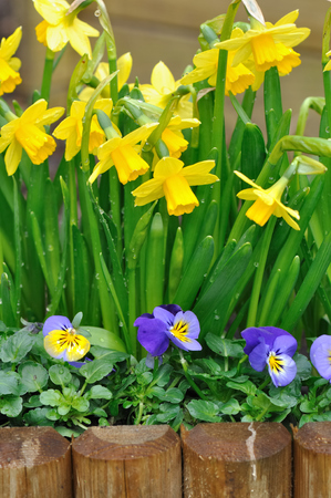 daffodils and viola bordering in a garden  Stock Photo