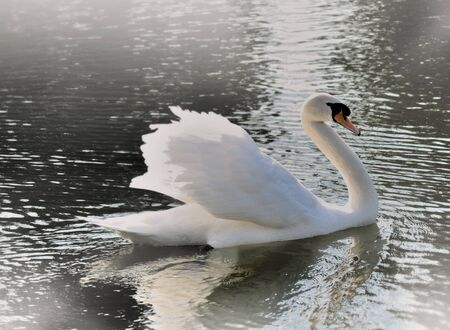 beautiful and graceful swan on a lake