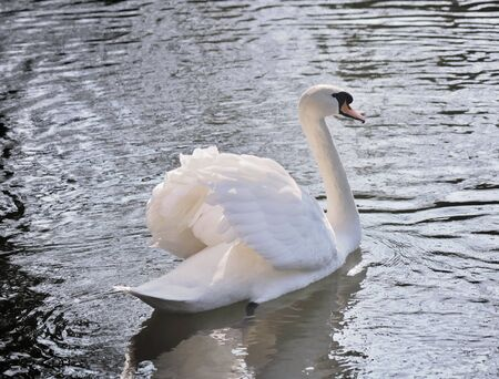 palmiped: beautiful and graceful swan on a lake
