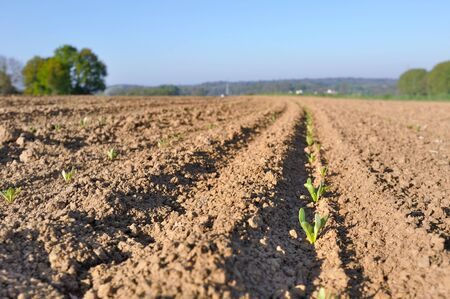 cultivable: row of cereal seedling in a sunny  field  Stock Photo