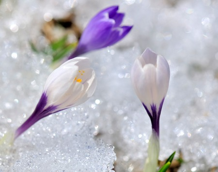 pretty wild crocus blooming in the snow