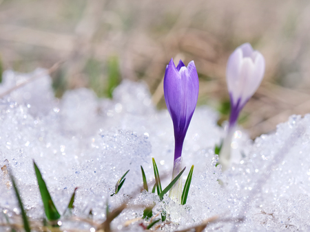 close on pretty wild purple crocus on the snow