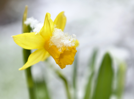 close on a daffodil in a garden covered with snow Banque d'images