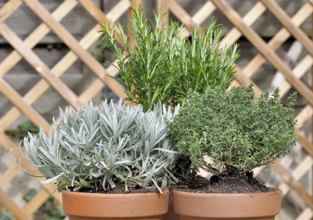 close on sage, thyme , and rosemary potted on a wooden table in garden Banque d'images