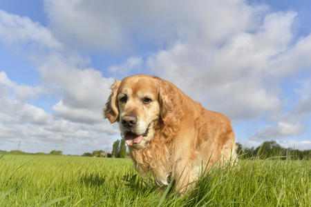 face of a dog golden retriever walking in a field Banque d'images - 100851899