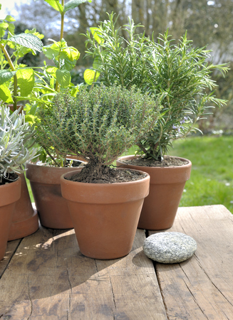 potted aromatic plant put on a table in garden