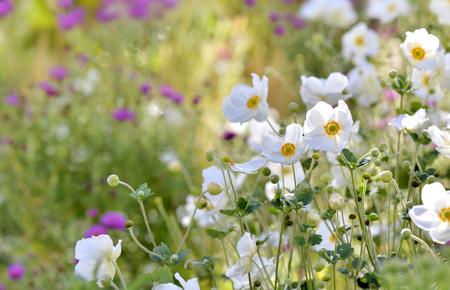 beautiful white windflowers in a flowerbed in garden Stock Photo
