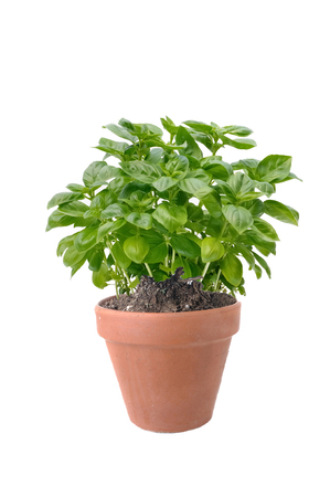 basil plant in terra cotta pot isolated on white background 写真素材
