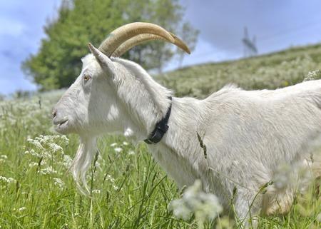 domestic billy goat in green alpine meadow