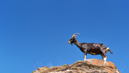black goat at the top of a rock and under blue sky