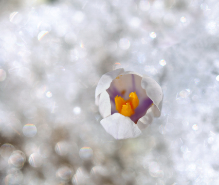 abstract view on a crocus blossoming in the snow