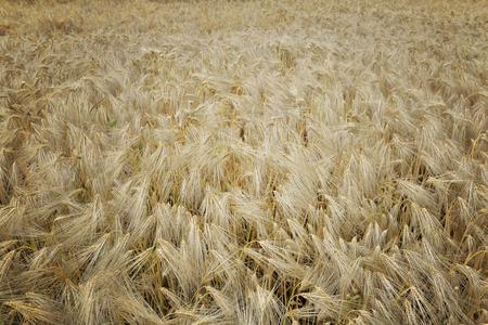 top view on textured field of grain Standard-Bild - 118228832