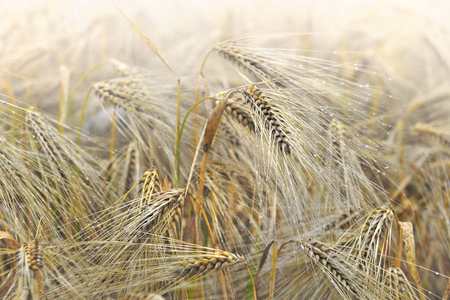 close on  ears of crop cereal in a field Standard-Bild - 118228835