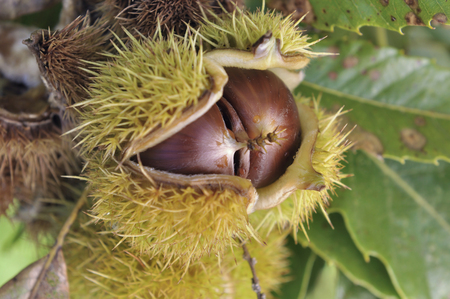 close on ripe chestnuts in a open shell in the tree Standard-Bild