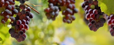 Panoramablick auf schwarze Trauben, die im Weinberg wachsen, der von der Sonne beleuchtet wird Standard-Bild