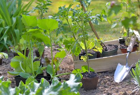shovel in a vegetable garden to planting tomato seedlings 스톡 콘텐츠