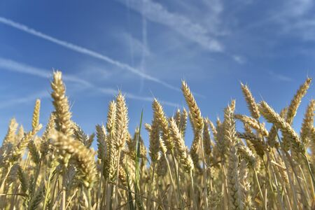 raw of ripe and golden wheat growth in a field under blue sky