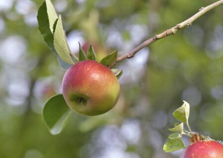 close on an apple growing on a tree on a banch in summer