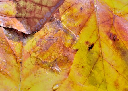 close on colorful golden dead leaf covered with wet and ice