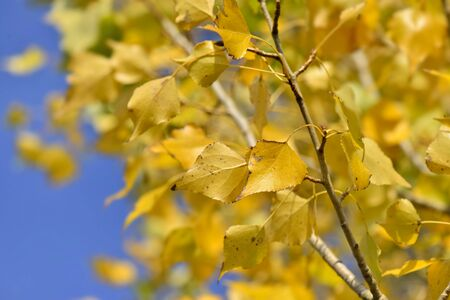 close on a colorful yellow foliage of a birch background on blue sky