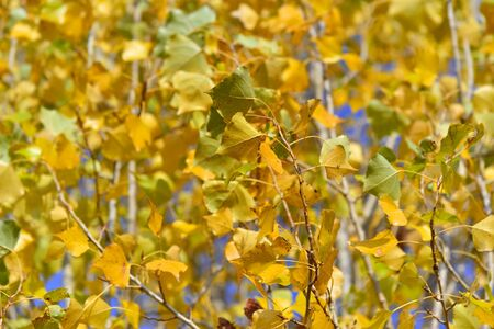 close on a bright  yellow foliage of a birch background