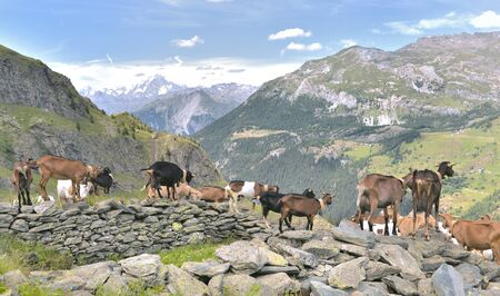 herd of farm goats in the rocks in alpine mountain landscape