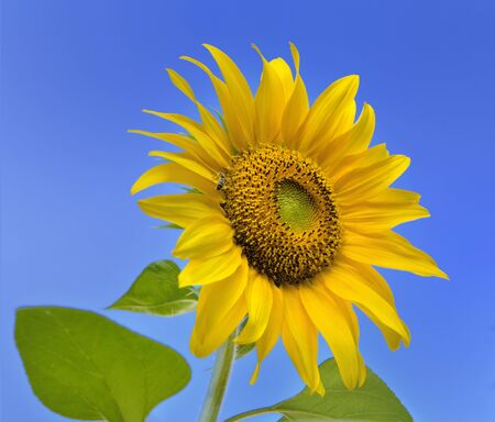 close on a beautiful sunflower blooming on blue background