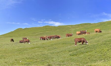 livestock of brown dairy cows in greenery alpine pasture under bleu sky