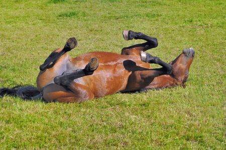 funny beautiful foal rolling in its back in the grass Imagens