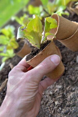 gardener holding a lettuce seedling in a peat pot to plant in the  garden