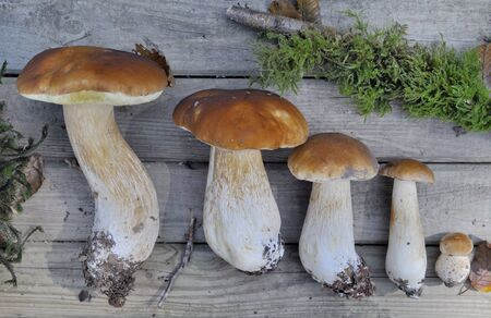 freshly picked porcini mushrooms put on a board from the largest to the smallest Stok Fotoğraf