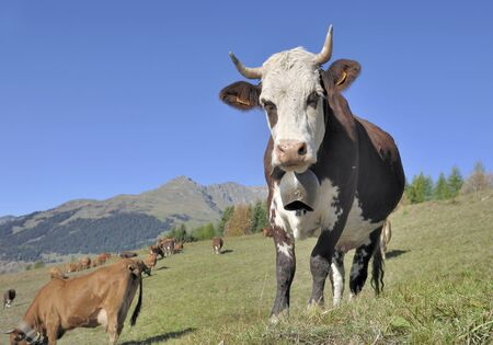 alpine dairy cow with a ring in pasture in mountain  版權商用圖片