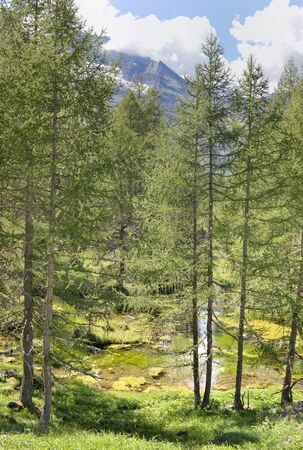 green and large european larch trees in a forest  at the edge of a river