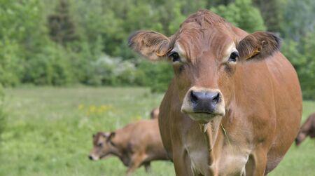 Hermoso retrato de vaca marrón en prados alpinos Foto de archivo